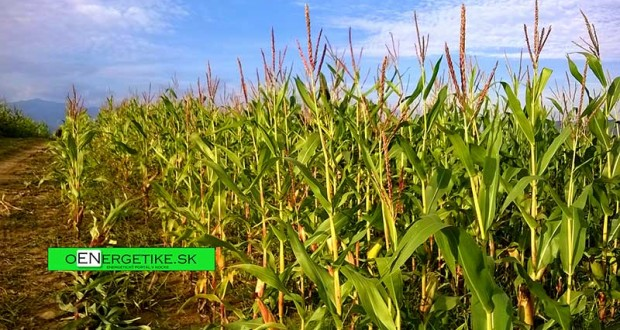 kukuričné-pole-oEnergetike